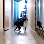 Kodi the Cat Meows Loudly in an Empty Hallway After Watching His Beloved Human Walk Out the Front Door
