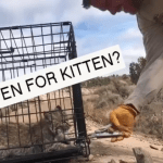 Cranky Bobcat Kitten Threatens the Humans Opening His Carrier Before Releasing Himself Into the Wild