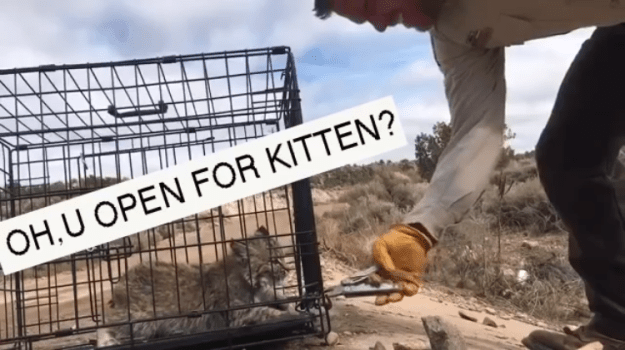 Oh-U-Open-for-Kitten Cranky Bobcat Kitten Threatens the Humans Opening His Carrier Before Releasing Himself Into the Wild Random
