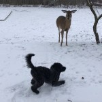 Frisky Goldendoodle Puppy and Playful Deer Gleefully Chase Each Other Around Snowy Ohio Backyard