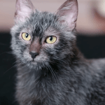 Lykoi, A Recent Breed of Cat Whose Sparse Dark Coats and Big Eyes Make Them Look Like Werewolves