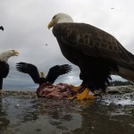 A Cheeky Bald Eagle Steals a Fisherman's GoPro