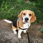 An Adorable Little Beagle Demonstrates the Wide Array of Beagle Demonstrates For Which His Breed Is Known