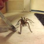 Compassionate Man Carefully Removes Carpet Fuzz From the Legs of a Tangled Wolf Spider in His Home