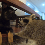 A Lively Little Puppy Tries to Make Friends With a Reticent Rescued Raccoon