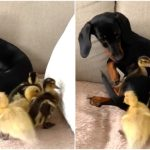 Drowsy Dachshund Puppy Tries to Play With Four Affectionate Little Ducklings on the Sofa
