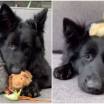 Big Dog, Little Bunny, Fuzzy Duckling and Adorable Guinea Pigs Live Together in Beautiful Harmony