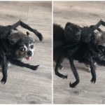 An Adorable Little Rescue Dog Hilariously Dances Around the Living Room in a Silly Spider Costume