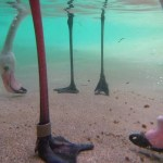 Fascinating Footage of Flamingos Feeding Underwater