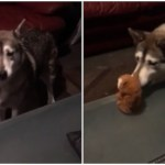 A Very Vocal Malamute Engages In a Circular Conversation With a Stubborn Talking Toy Hamster