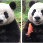 Giant Panda Loudly Chomps on a Yummy Carrot