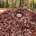 A Wonderfully Satisfying Compilation of Stella the Yellow Lab Diving Into Freshly Raked Piles of Autumn Leaves