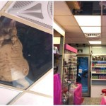 Japanese Store Installs Glass Panels In Ceiling For Resident Cats to Safely Watch From Above