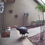 Man Shoos Wild Turkey Away From His Front Porch Welcome Mat Using the Intercom on His Video Doorbell