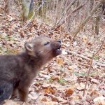 Tiny Wolf Pup Tries Howling for the Very First Time
