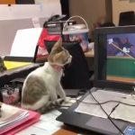 A Pair of Adorable Kittens Intensely Watch a Classic 'Tom and Jerry' Cartoon on Their Human's Computer