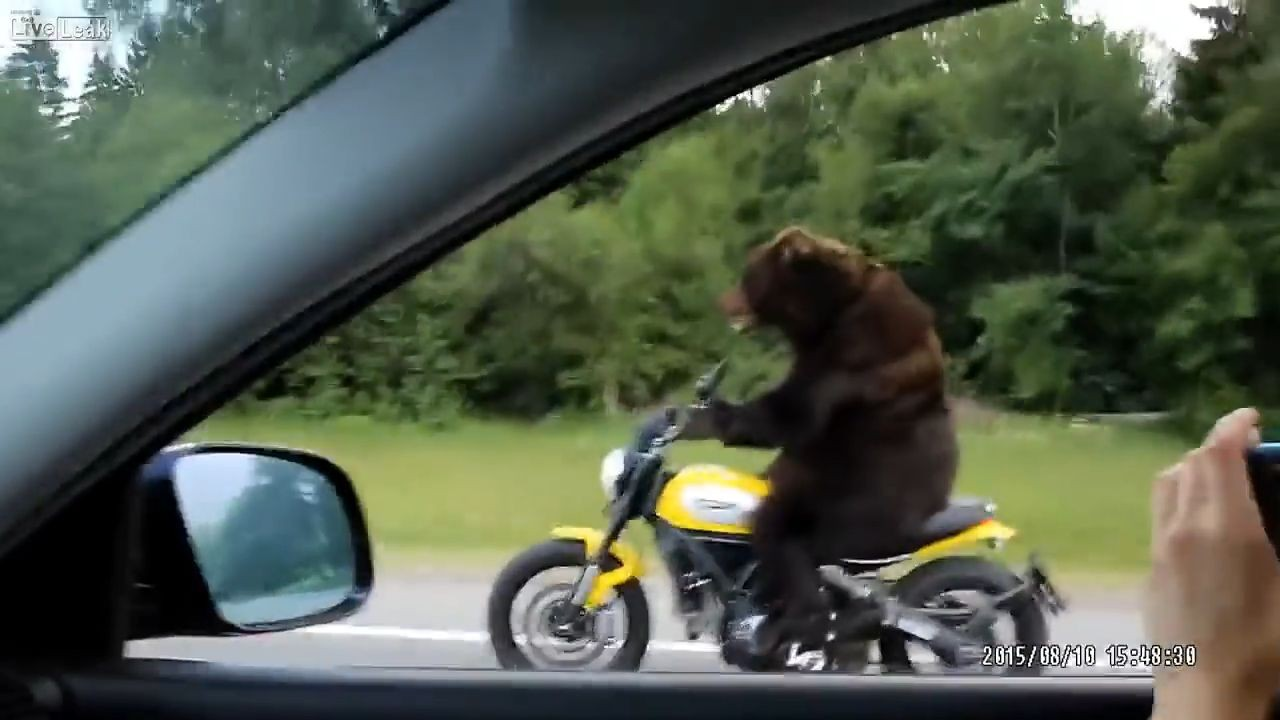 Rude Bear On Motorcycle