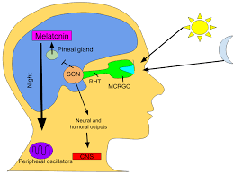 Melatonin to assist coronavirus treatments