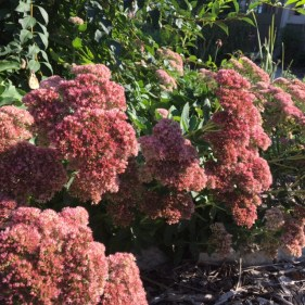 sedum-with-butterfly