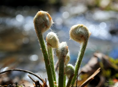 spring fiddleheads