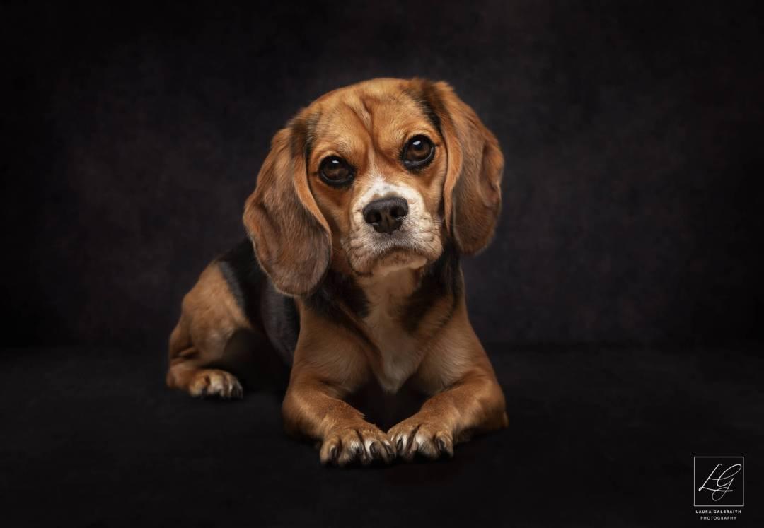 Pet Photography Cambridge Beaglier