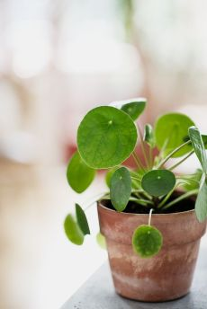 Pilea Peperomioides / Ufopflanze