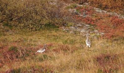 Wow, lebendige Wesen, die keine Pflanzen sind! Dies scheinen Schneehühner zu sein.