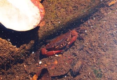 Eine Krabbe bei den Canyons