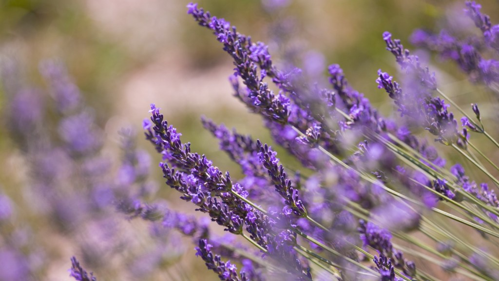 Lavender for Lent [Ash Wednesday]