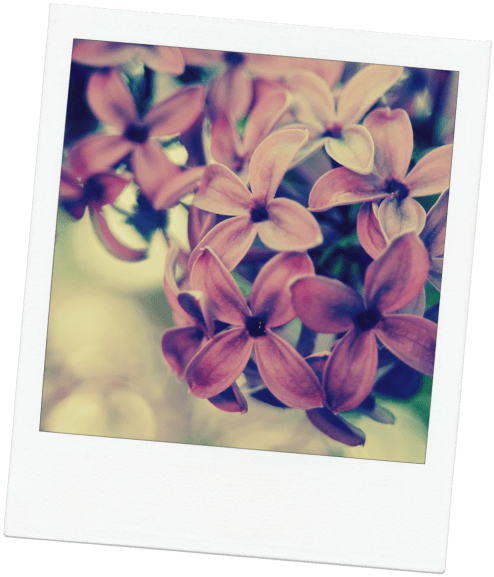 lilac-for-blog