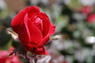 pink rose12