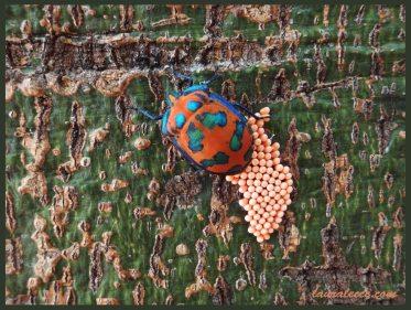 Hibiscus Harlequin Bug