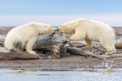 polar-bear-kaktovik-september-20-6-of-1-watermark-blog