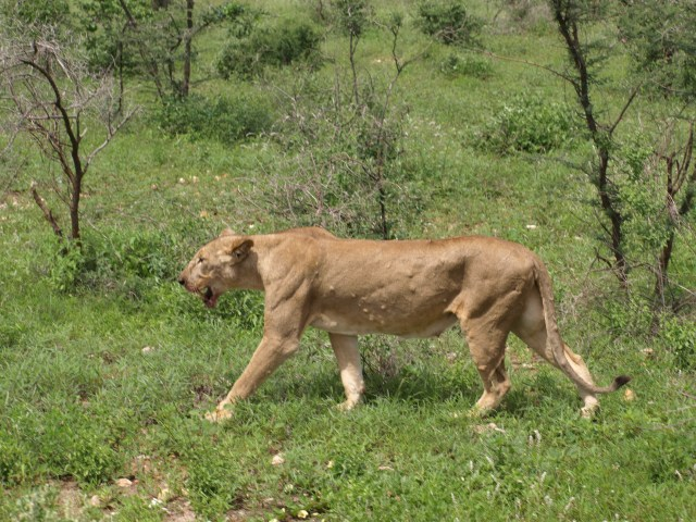 The Lioness after a Kill