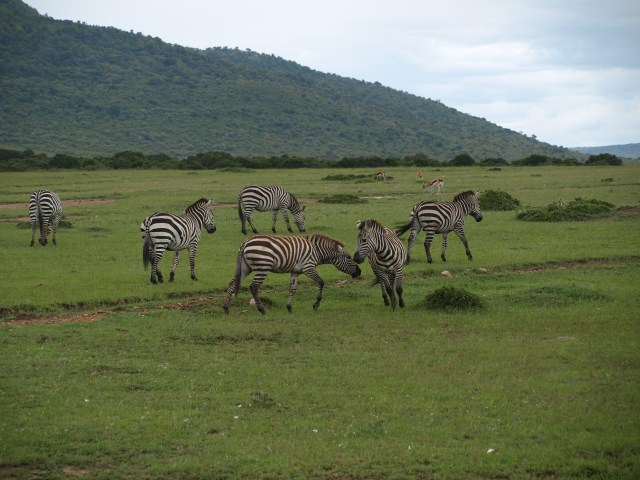 Zebras on the Masai Mara