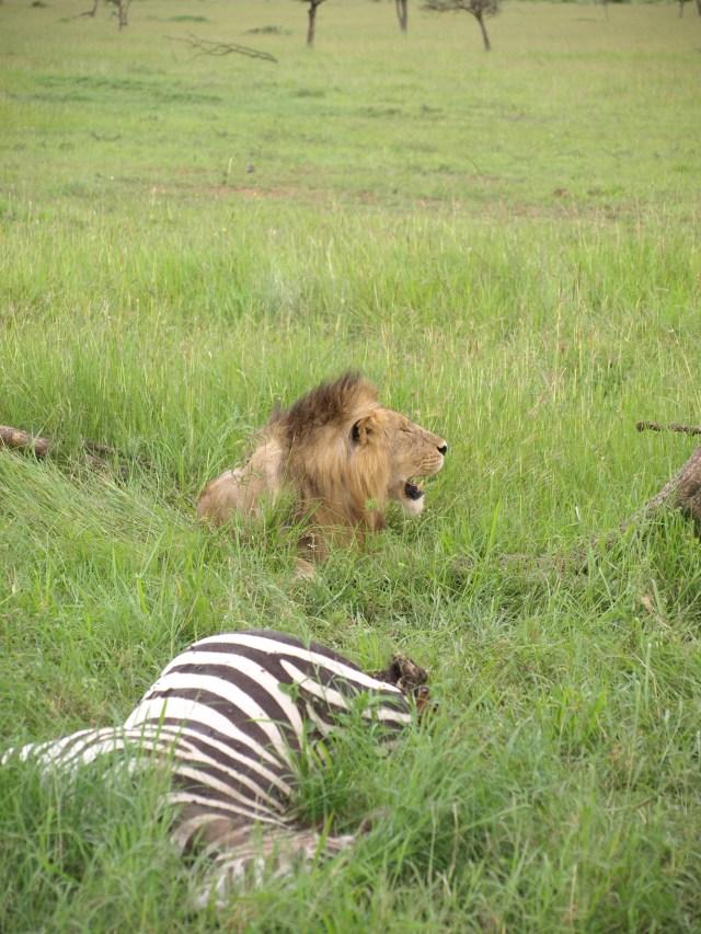A lion taking a break from his Zebra dinner
