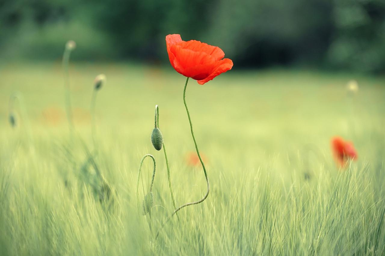 poppy, summer, bright