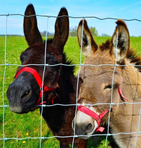 two-donkeys-michigan-country