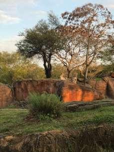 Leones Animal Kingdom