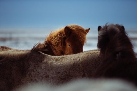 horses-1031259_1280