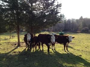 cowssmall