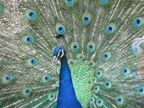 peacock-312820_1280