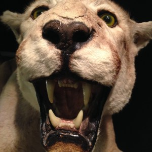 Cougar [15 Words or Less Poems]