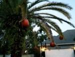 Palm tree with pumpkins