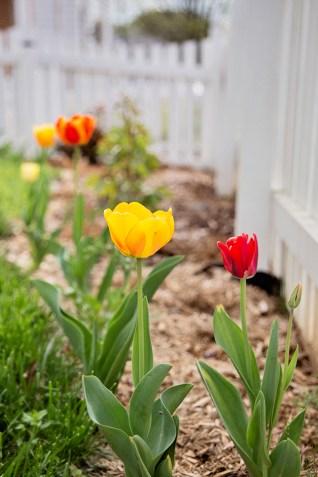 april-tulips04