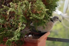 Friend ringdove and her eggs