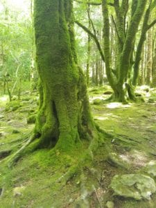 moss-covered trees in Irish forest