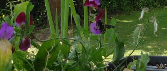 Large black Wood Bee and sweet pea flowers in windowbox