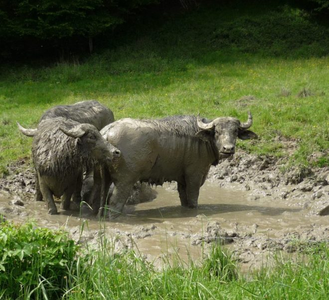 "Water buffaloes coated in gray mud, standing in a deep mud puddle ""bathtub"""
