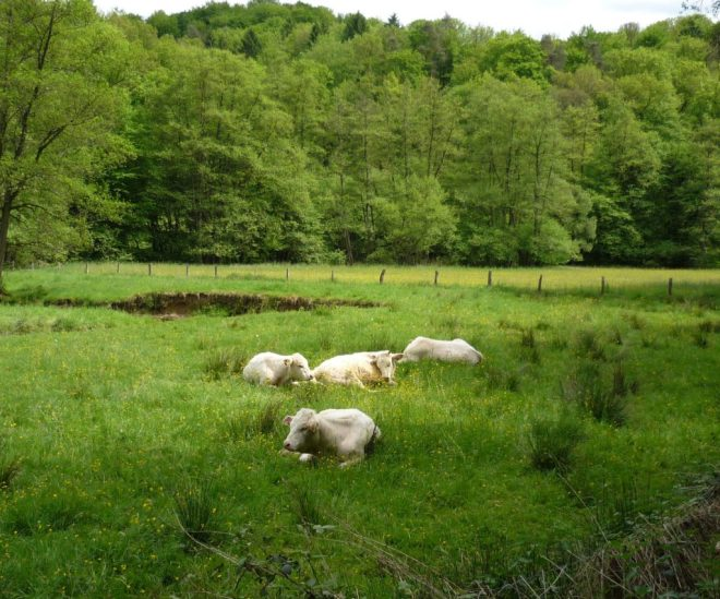 White cows reclining in a grassy meadow.